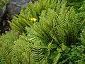 Doronicum kamaonense (syn. Doronicum roylei) (7851273522).jpg