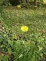 Doronicum plantagineum RHu 02.JPG
