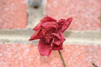 Potpourri - A dried rose. Dried flowers are a common component of potpourris