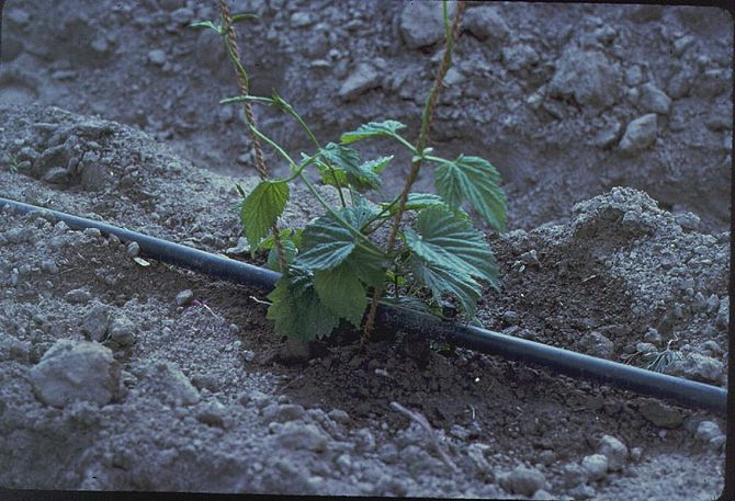 English: Drip irrigation uses a series of pipe...