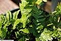Dryopteris erythrosora Brilliance 3zz.jpg