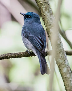 Dull Blue Flycatcher4760 (13685487125).jpg