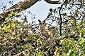 Dusky Eagle Owl (Bubo coromandus) at nest at Bharatpur I IMG 5324.jpg