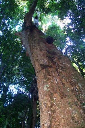 Dysoxylum fraserianum - At Boorganna Nature Reserve, Australia