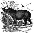 EB1911 Tapir.png