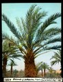 ETH-BIB-Blühende -weibliche- Dattelpalme, Tripolis-Dia 247-04281.tif
