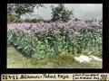 ETH-BIB-Blühender Tabak bei Aigle-Dia 247-13432.tif