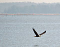 Eagle on the River (6830739709).jpg