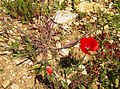 Early poppy - geograph.org.uk - 465045.jpg