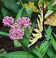 Eastern Tiger Swallowtail Papilio glaucus Feet.jpg