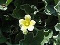 Ecballium elaterium à Monemvasia fleur.jpg