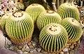 Echinocactus grusonii PA.jpg