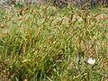 Echinochloa crusgalli (3874040879).jpg