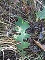 Echinops sphaerocephalus leaf.jpg