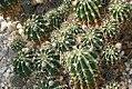 Echinopsis eyriesii 0zz.jpg