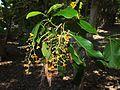 Ehretia acuminata fruit.jpg