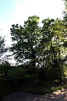 Eiche an der König-Ludwig-Brücke Kempten 18052015 (Foto Hilarmont).JPG