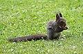 Eichhörnchen in Sachsen 2H1A9593WI.jpg