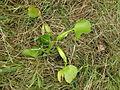 Eichhornia crassipes plant2 (13920200091).jpg