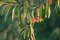Elaeagnus angustifolia Fruit 2.jpg