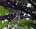 Elaenia flavogaster -Brazil-8.jpg
