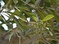 Elaeodendron orientale (4591339385).jpg
