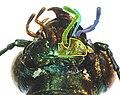 Elaphrus cupreus detail4.jpg