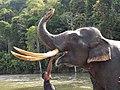 Elephant Sumatra Tête.jpg