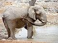 Elephant at Okaukuejo, Etosha (2014).jpg