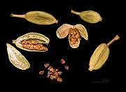 https://upload.wikimedia.org/wikipedia/commons/thumb/2/2c/Elettaria_cardamomum_Capsules_and_seeds.jpg/180px-Elettaria_cardamomum_Capsules_and_seeds.jpg