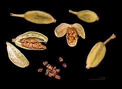 frutti e semi di cardamomo