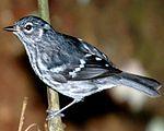 Elfin-woods warbler perched on a tree branch.jpg