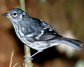 Elfin woods warbler Small bird of the New World warbler family endemic to Puerto Rico