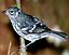 Elfin-woods warbler perched on a tree branch.jpg