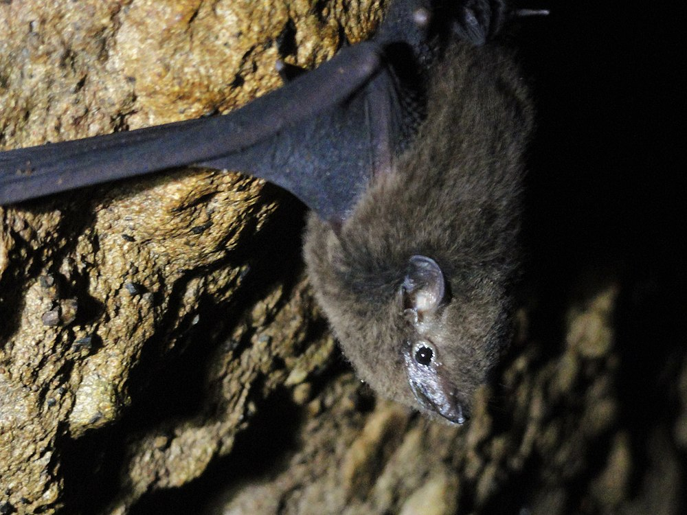 The average adult weight of a Pacific sheath-tailed bat is 6 grams (0.01 lbs)