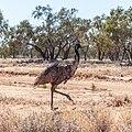 Emu Burke River floodplain Boulia Shire Queensland P1060866.jpg