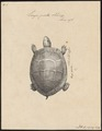 Emys picta - 1700-1880 - Print - Iconographia Zoologica - Special Collections University of Amsterdam - UBA01 IZ11600111.tif