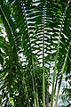 Encephalartos laurentianus-Jardin botanique Meise (8).jpg