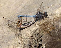 240px epaulet skimmer.mating pair. orthetrum chrysostigma (24060608923)