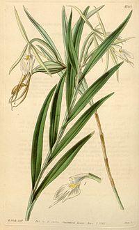 Epidendrum longicolle - Curtis' 71 (Ser. 3 no. 1) pl. 4165 (1845)