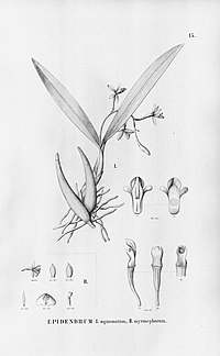 Epidendrum myrmecophorum (illustr. caption misspelled Epidendrum myrmephorum) - Fl.Br.3-5-015.jpg
