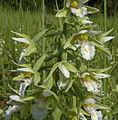 Epipactis palustris var. ochroleuca 140710-0504.jpg