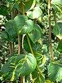 Epipremnum aureum (405626861).jpg