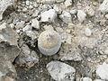Epithelantha micromeris (5676375915).jpg