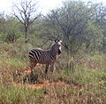 Equus quagga boehmi individual in Tsavo West National Park (edited).jpg