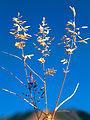 Eragrostis cilianensis UGA1459675.jpg