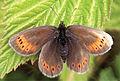 Erebia christi - Nature Conservation-001-073-g036.jpg