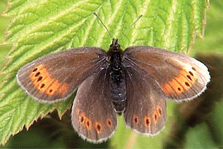 Raetzers ringlet species of insect