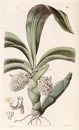 Eria spicata (as Eria convallarioides) - Edwards vol 27 (NS 4) pl 62 (1841).jpg