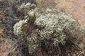 Eriogonum corymbosum kz01.jpg
